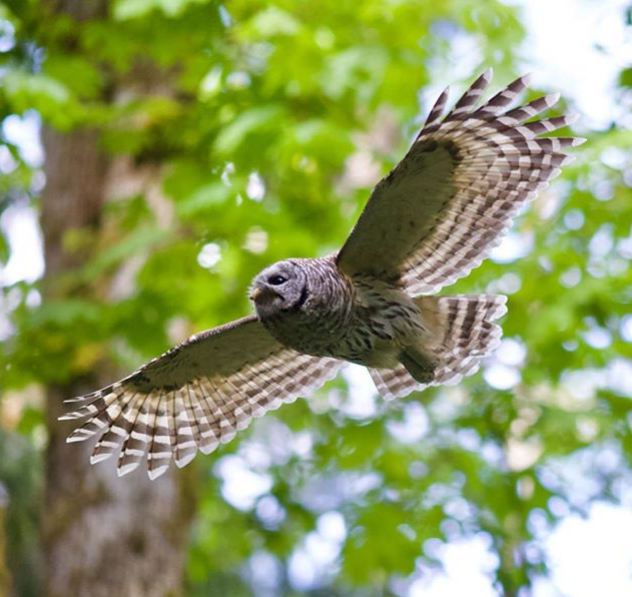 Fred-barred-owl