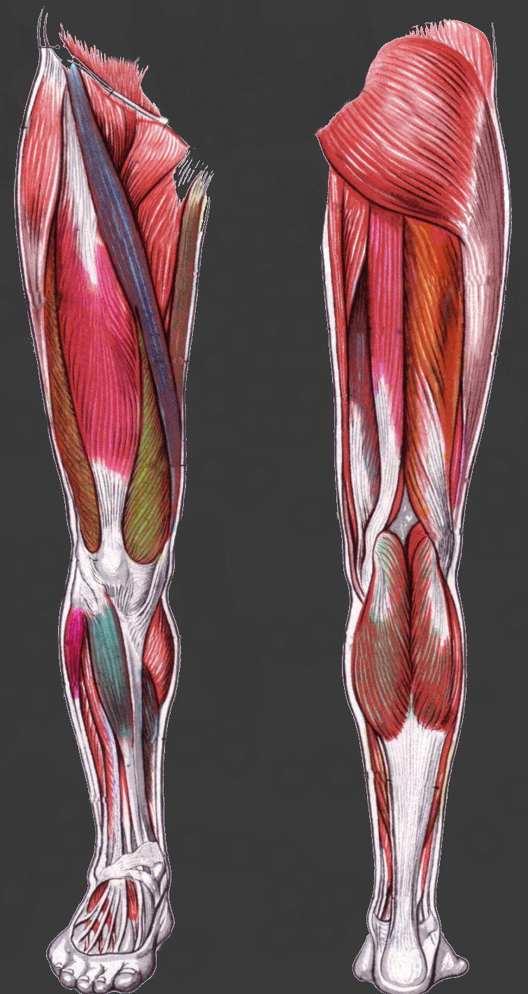 leg-anatomy